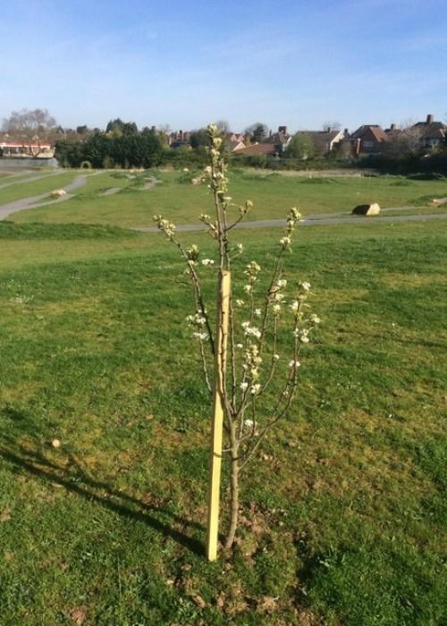 Ellesmere College fruit tree growth 3 (1)