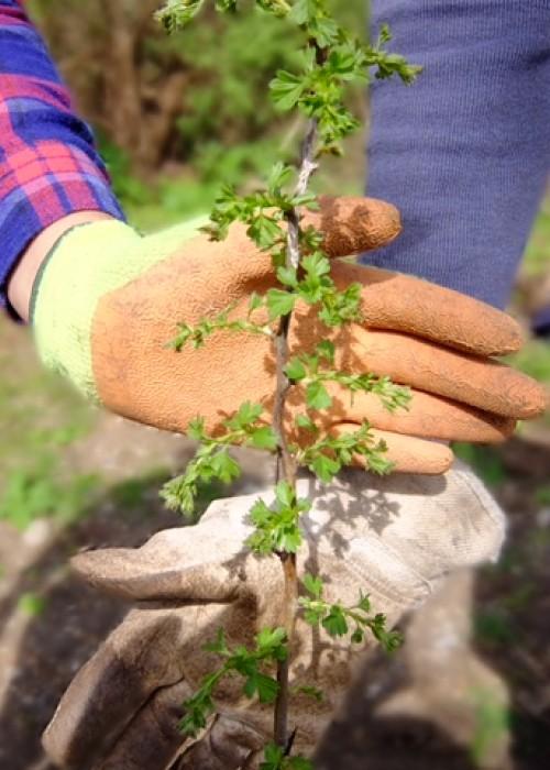 London Wildlife Trust Crane Meadows hedgerow planting 1 (1)