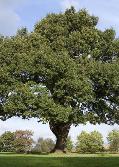 oak-tree-britain-michael-gove-1059715