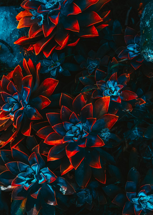 blue-and-red-plants-2505693 (1)
