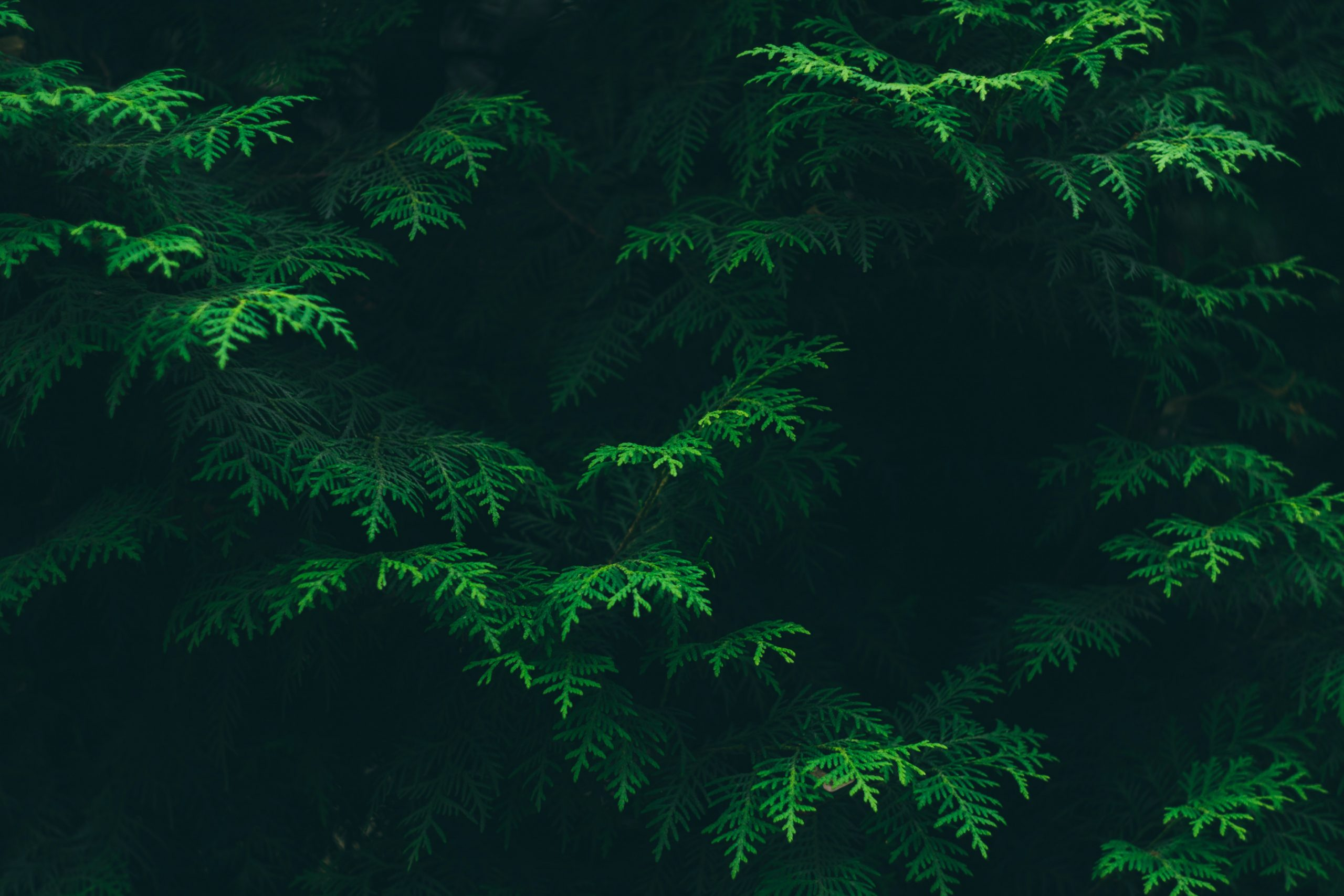 green-pine-tree-leaves-192136